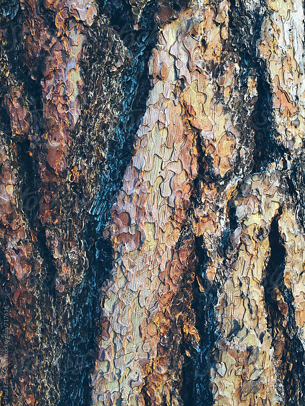 Close up of bark from Ponderosa pine tree  by Paul Edmondson for Stocksy United