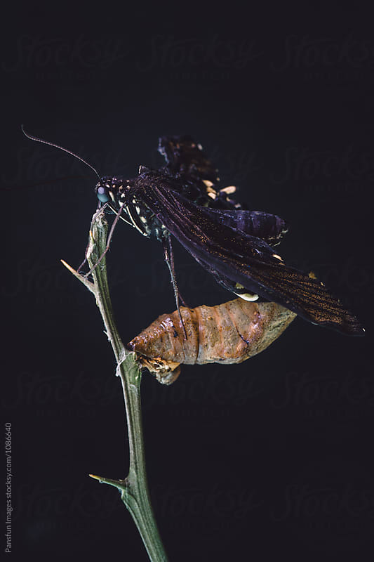 butterfly emerging from chrysalis by Pansfun Images for Stocksy United