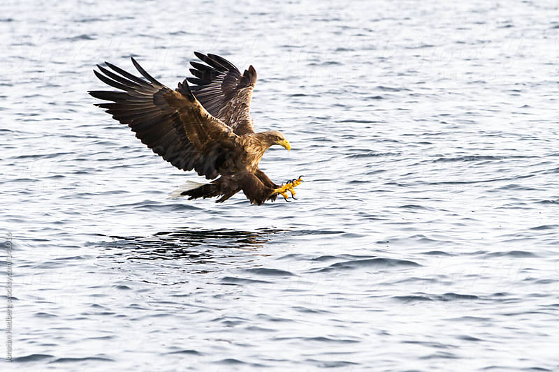 A white-tailed eagle dives for a fish by Jonatan Hedberg for Stocksy United