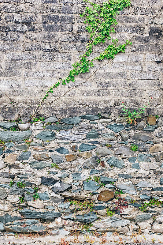 Vines on a stone wall by Jen Grantham for Stocksy United
