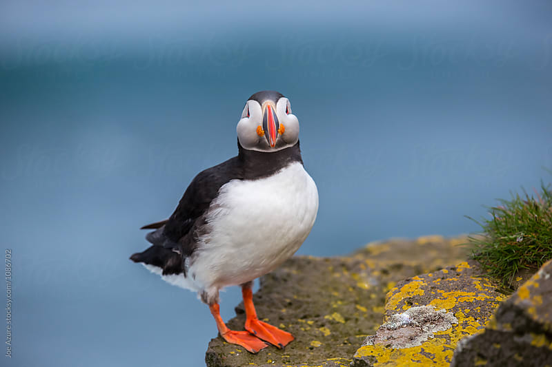 Lone Puffin by Joe Azure for Stocksy United
