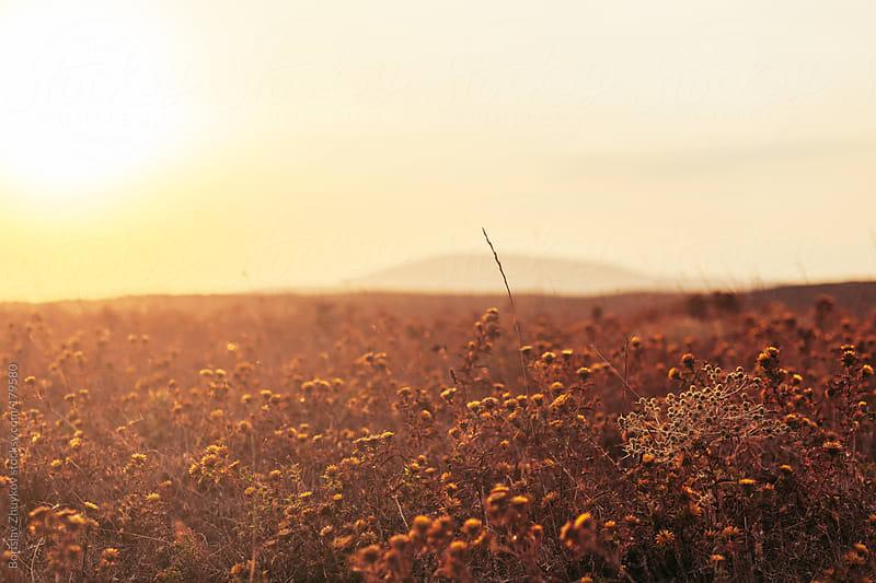 Golden field at sunset by Borislav Zhuykov for Stocksy United