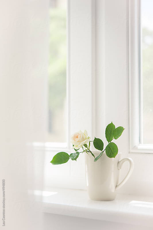 White rose in a white cup on a white window sill by Lea Csontos for Stocksy United