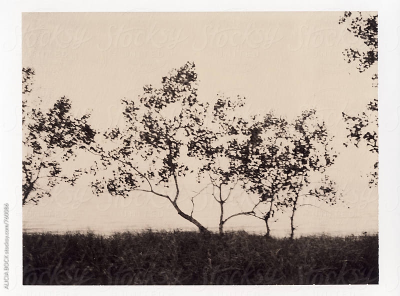 Coastal Trees And Dune Grass Photographed On Expired Polaroid Chocolate Film by ALICIA BOCK for Stocksy United