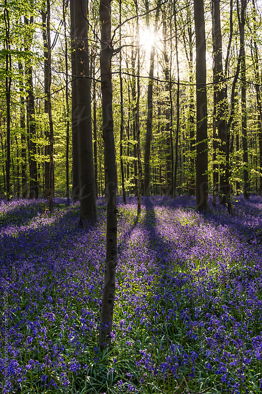 Bluebells Hallerbos Forest in Belgium by Andreas Wonisch for Stocksy United