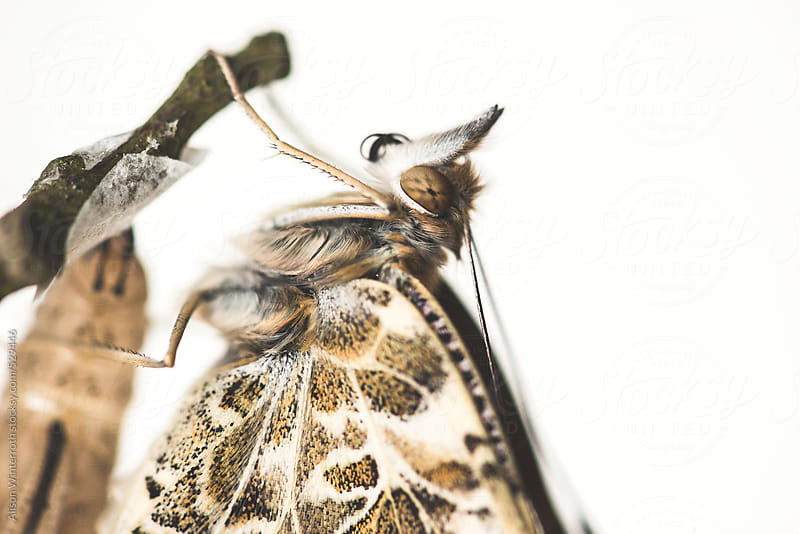 Close Up Image of Freshly Hatched Butterfly by Alison Winterroth for Stocksy United
