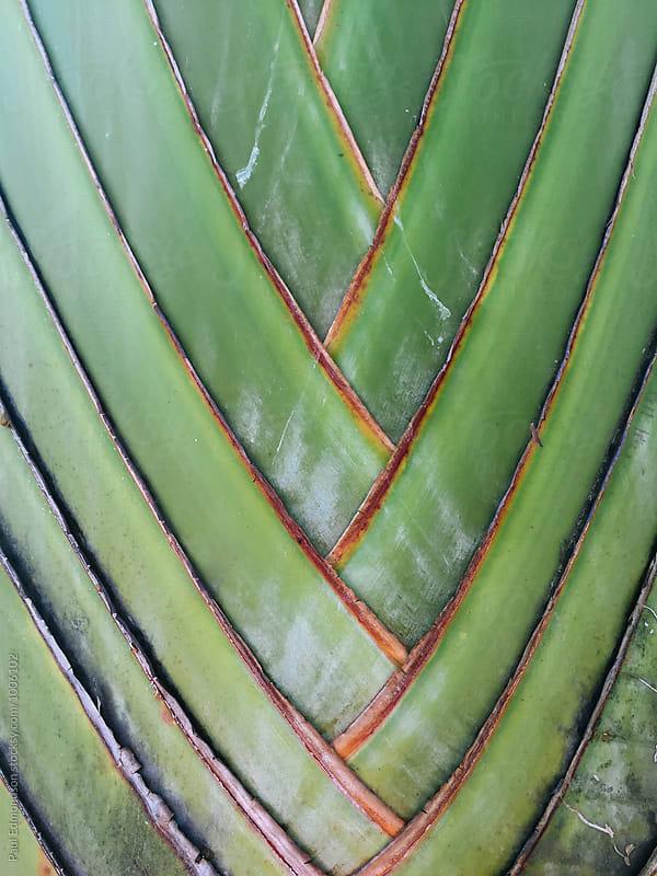 Close up fan palm tree, Oahu, Hawaii by Paul Edmondson for Stocksy United