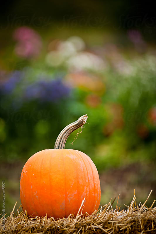 Pumpkin by Aubrie LeGault for Stocksy United