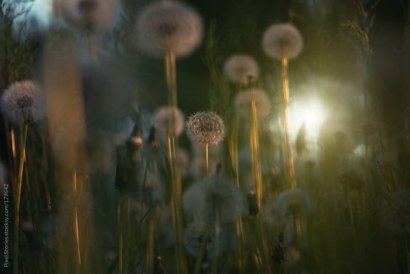 Dandelion forest by Pixel Stories for Stocksy United