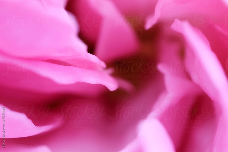 Bright pink rose macro by Marcel for Stocksy United