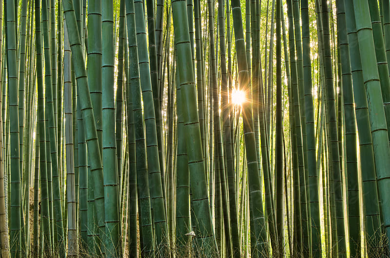Sunset Through A Bamboo Forest by Leslie Taylor for Stocksy United