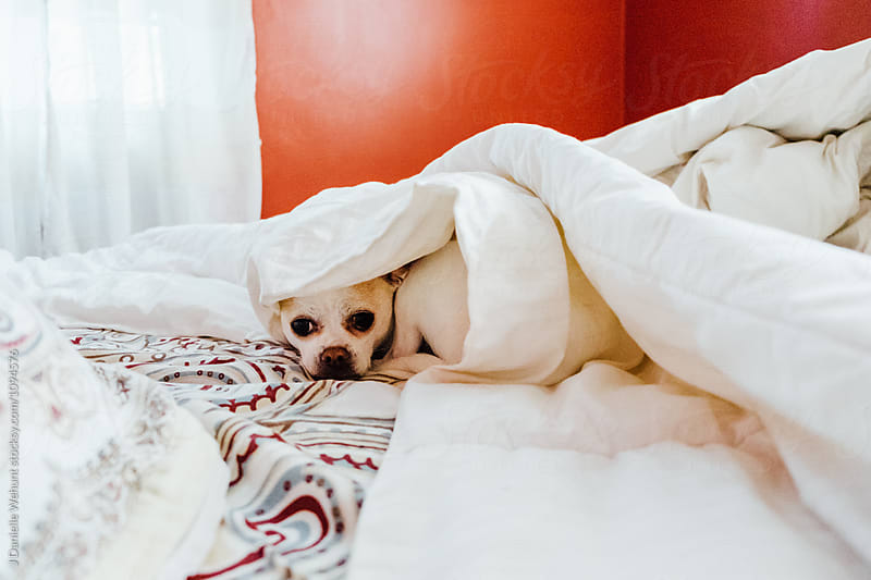 A white chihuahua boston terrier mix puppy hiding under blankets in bed by J Danielle Wehunt for Stocksy United