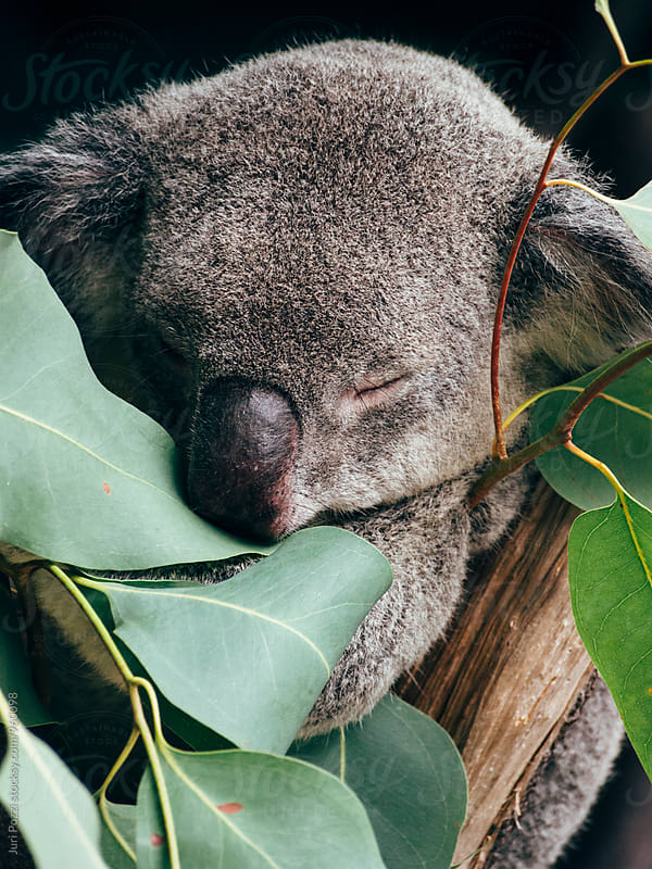 sleepy koala on a eucalyptus tree by Juri Pozzi for Stocksy United