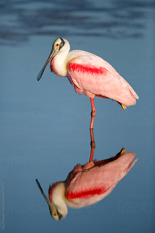 Roseate Spoonbill by Paul Tessier for Stocksy United