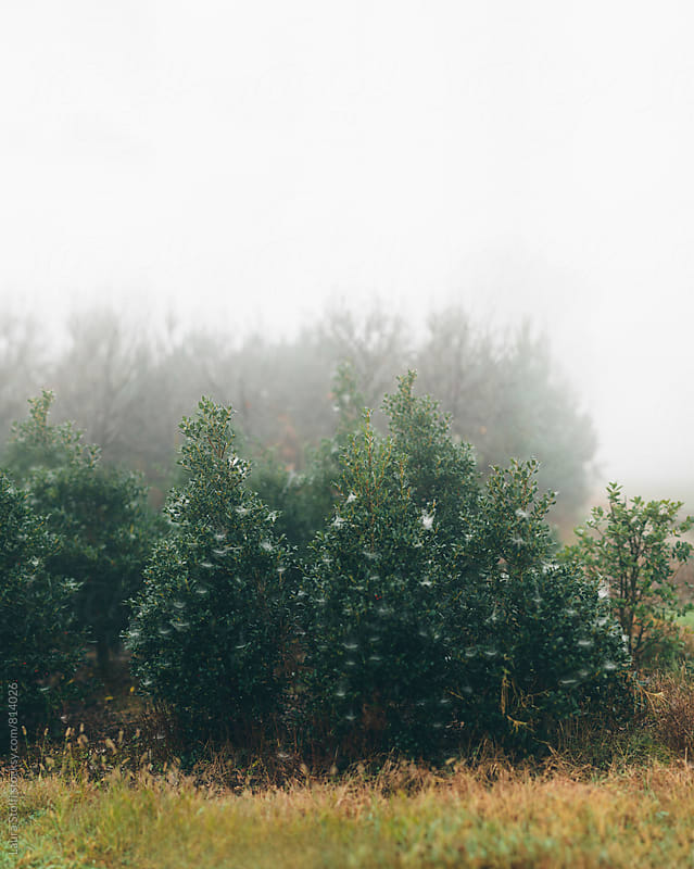 Many trees in the fog with lots of spider webs on them by Laura Stolfi for Stocksy United