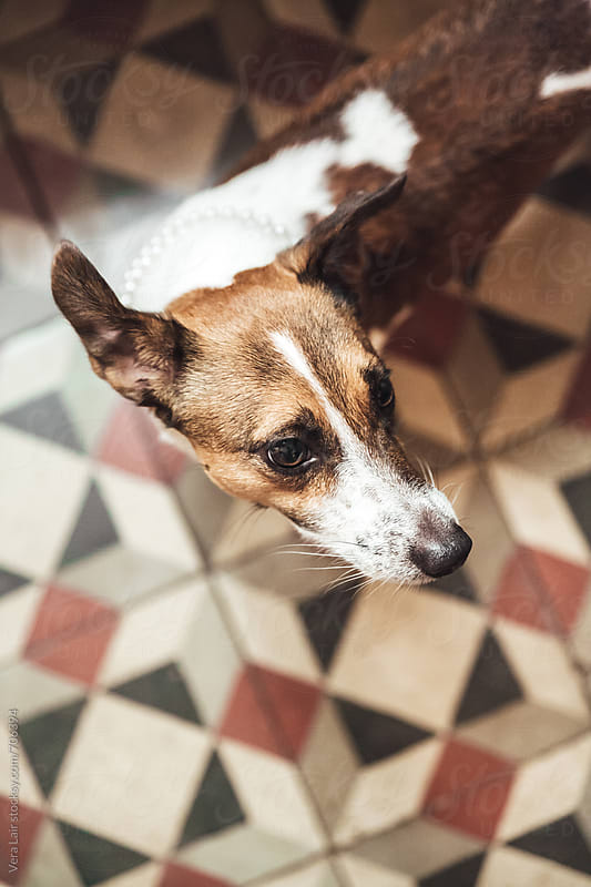 Portrait of jack russel by Vera Lair for Stocksy United
