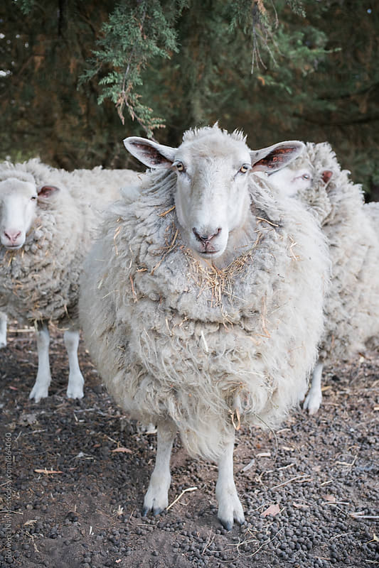 Sheep desparately in need of shearing by Rowena Naylor for Stocksy United