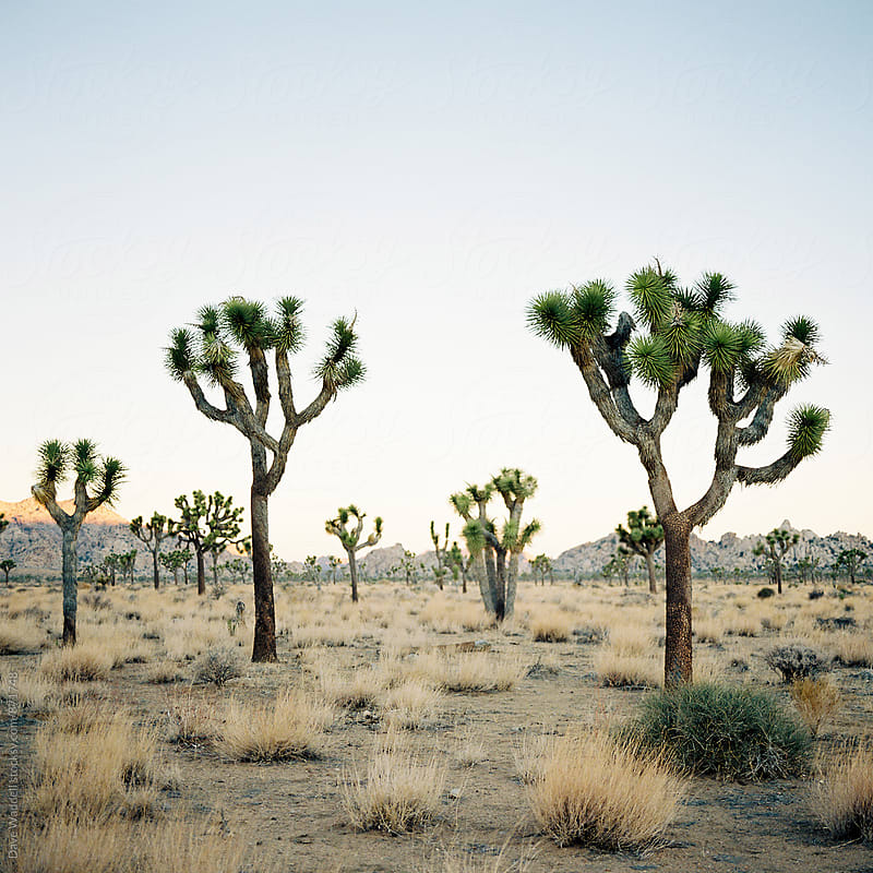 Joshua Trees in Joshua Tree National Park by Dave Waddell for Stocksy United
