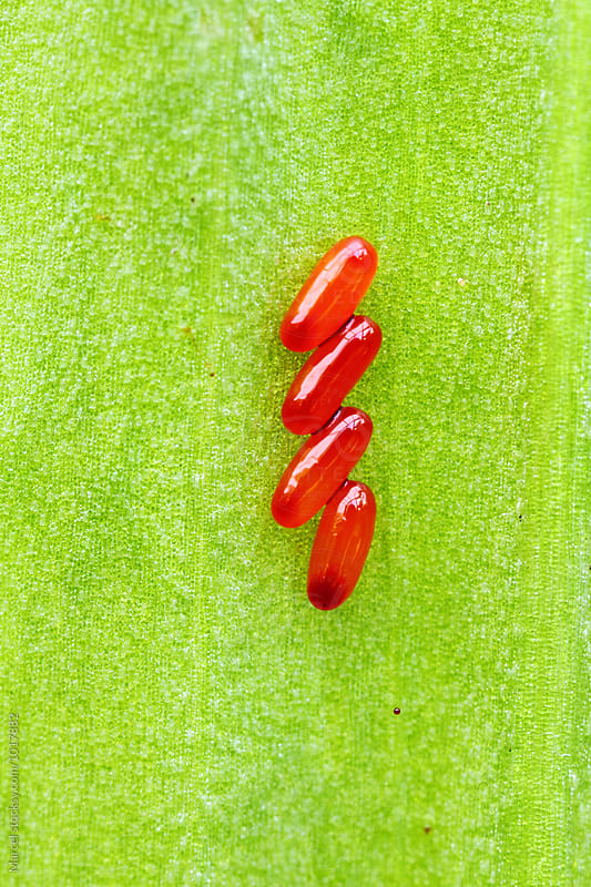 Scarlet lily beetle eggs on a leaf by Marcel for Stocksy United