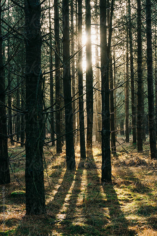 Sunlight through a dense forest. Norfolk, UK. by Liam Grant for Stocksy United