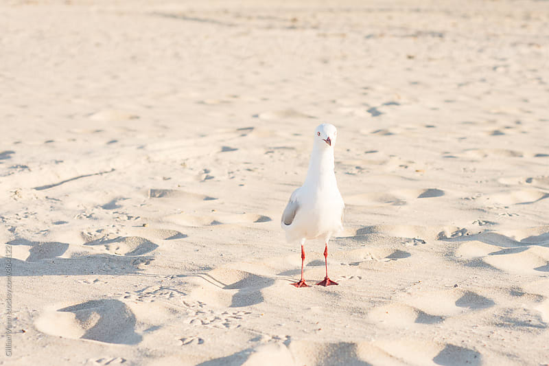seagull at the beach by Gillian Vann for Stocksy United
