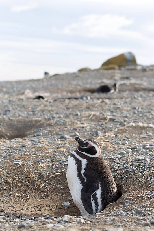 Happy, chubby penguin by Jovana Milanko for Stocksy United