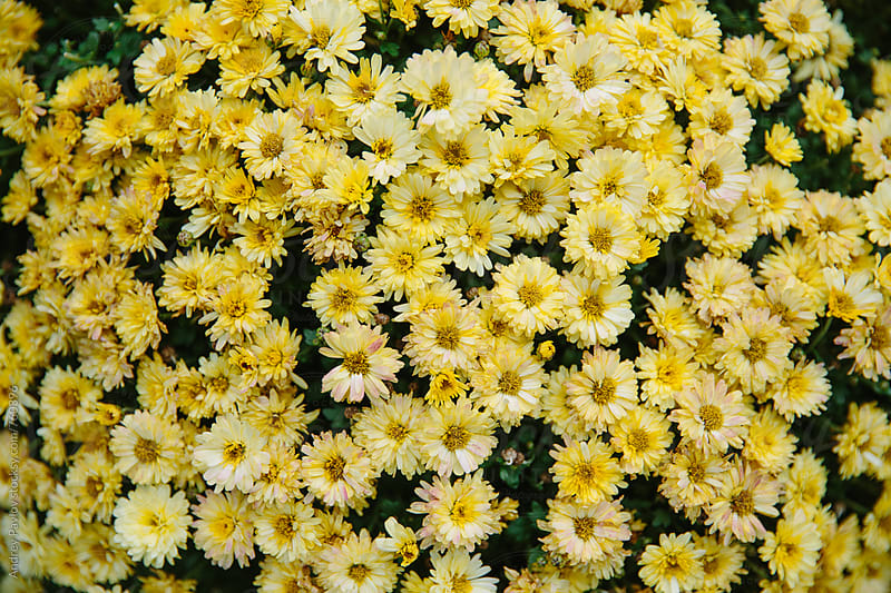 Yellow chrysanthemum background by Andrey Pavlov for Stocksy United