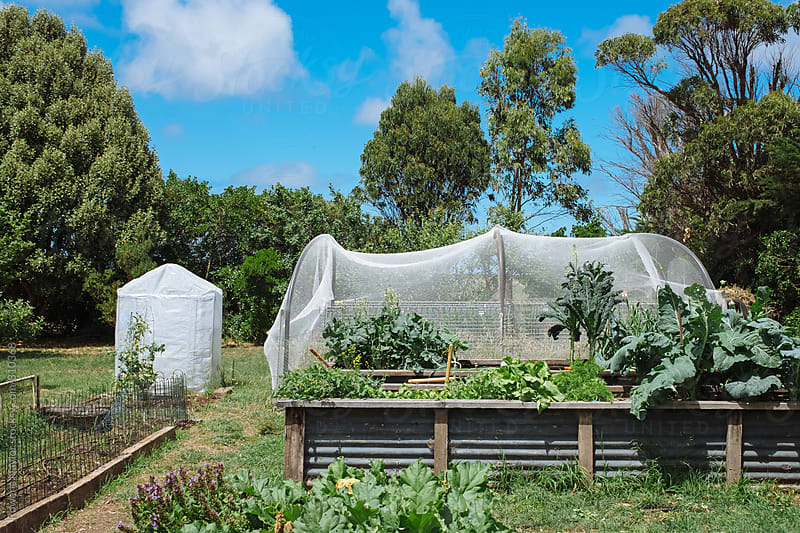 Organic Veggie Garden by Rowena Naylor for Stocksy United
