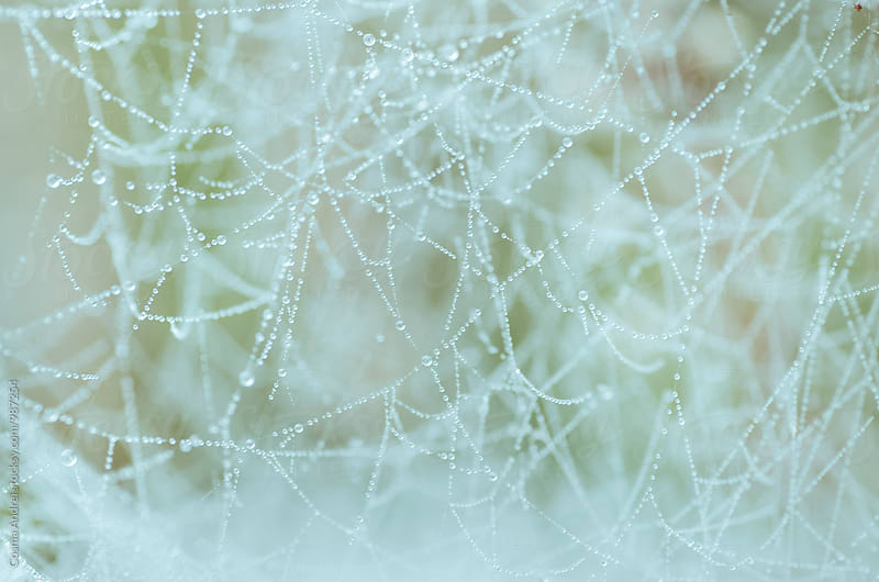 Spider web with dew in morning by Cosma Andrei for Stocksy United