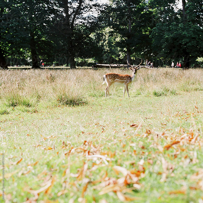 Deer in the park by Andrew Spencer for Stocksy United