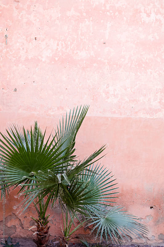 Palm fern against a pink wall. by Darren Muir for Stocksy United