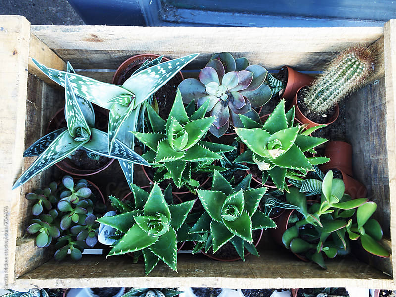 Crate of succulents by Kirstin Mckee for Stocksy United