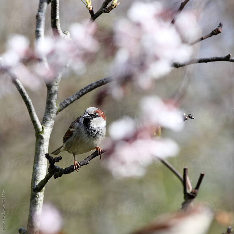 Male house sparrow in flowering cherry tree by Marcel for Stocksy United