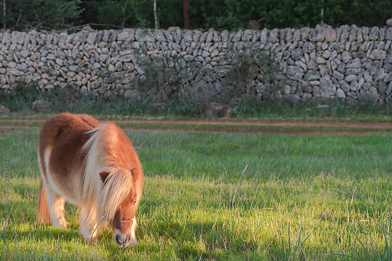 Pony grazing in a field at sunset by Marilar Irastorza for Stocksy United