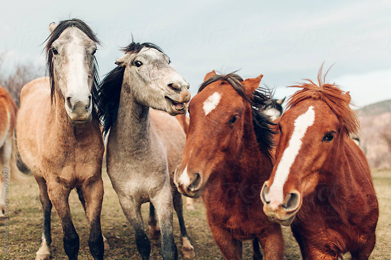 close up of a Group of wild Horses playing by Blue Collectors for Stocksy United