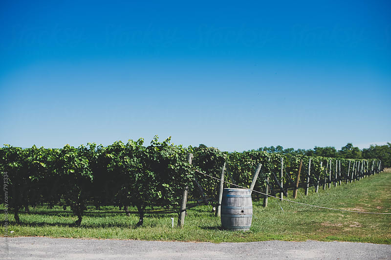 Vineyard and blue sky by Lauren Naefe for Stocksy United