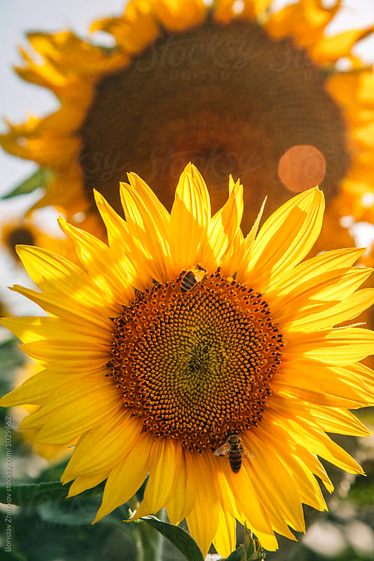 Bee on sunflower by Borislav Zhuykov for Stocksy United