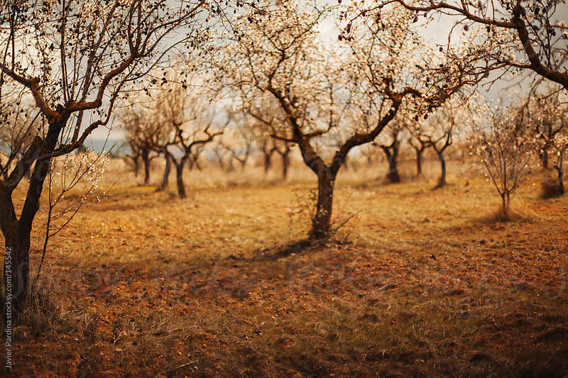 landscape with almond tree by Javier Pardina for Stocksy United
