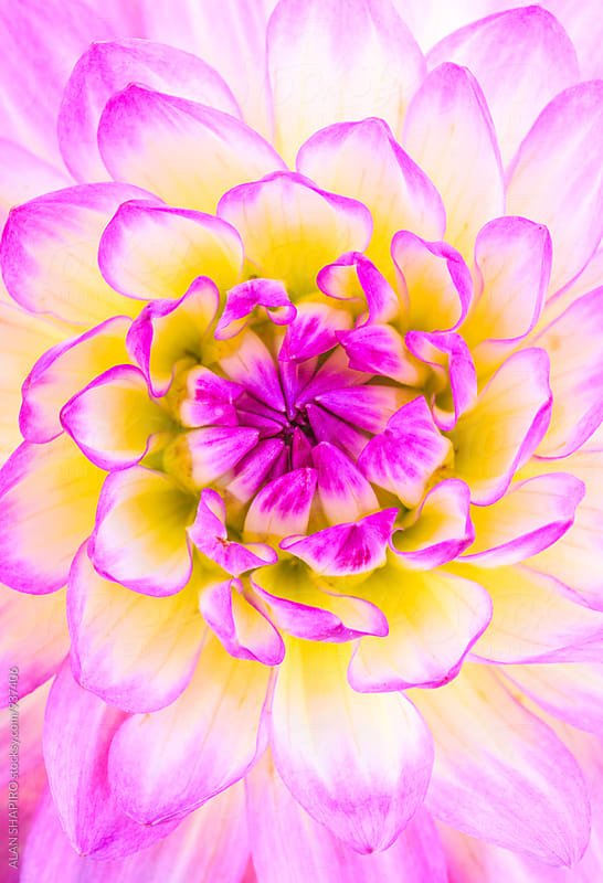 Dahlia macro by alan shapiro for Stocksy United