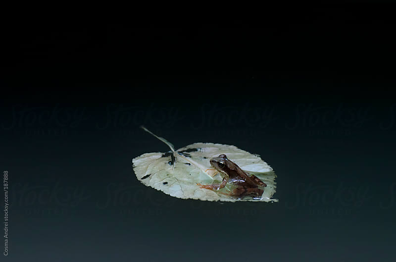 Frog floating on a leaf on a clear calm lake by Cosma Andrei for Stocksy United