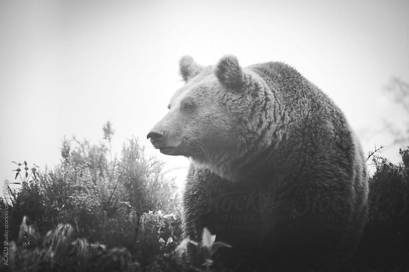 Brown bear attentive by ACALU Studio for Stocksy United