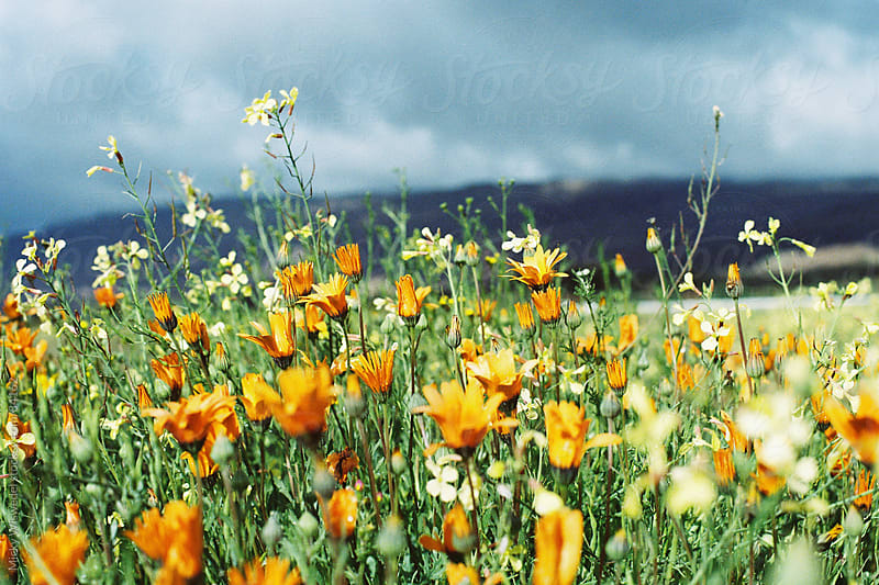 Wild Namaqualand Daises by Micky Wiswedel for Stocksy United