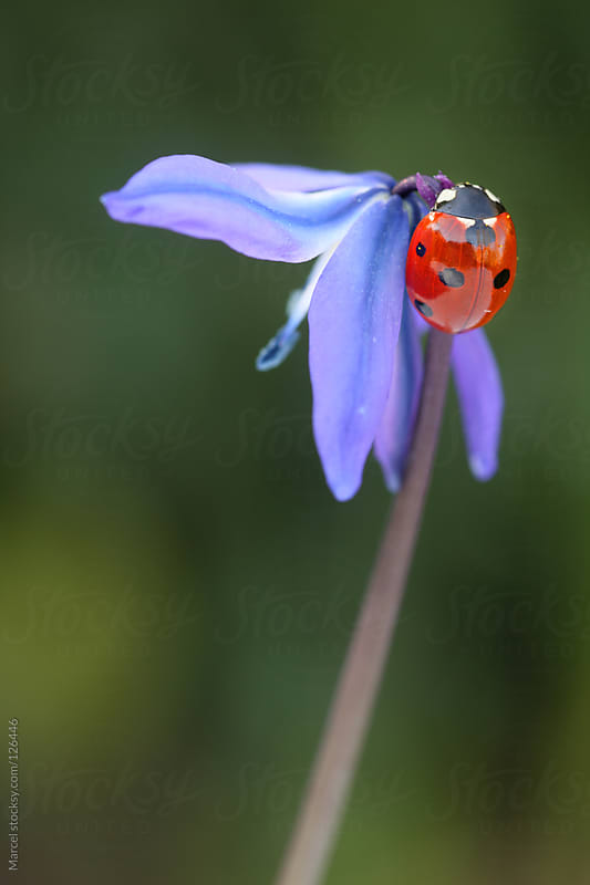 Ladybug on scilla siberica flower by Marcel for Stocksy United