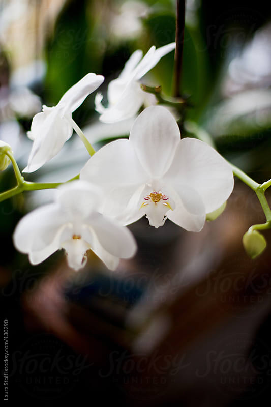 Overhead sight of white japanese orchid in bloom on wooden table by Laura Stolfi for Stocksy United