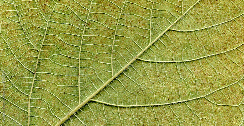 Broussonetia papyrifera leafs surface at extreme close-up by Wenhai Tang for Stocksy United