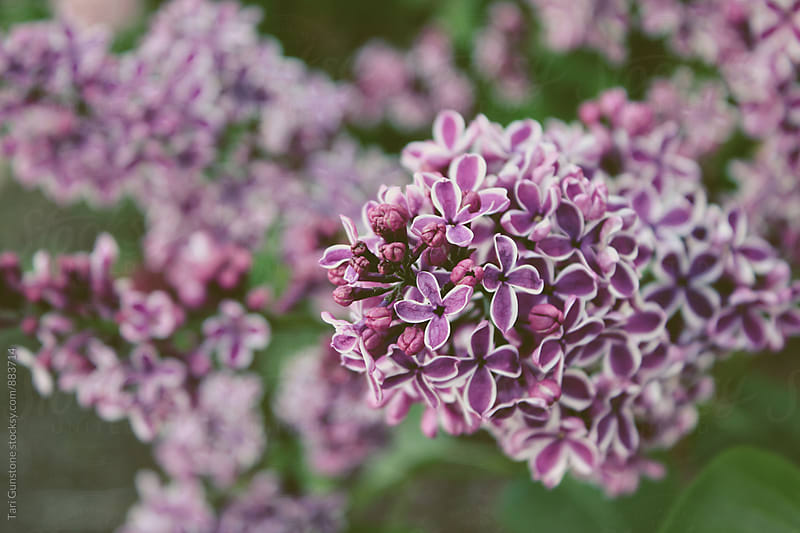 Variegated Lilac flowers by Tari Gunstone for Stocksy United