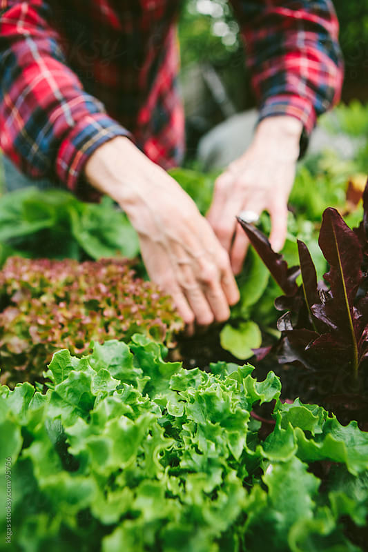 Picking green leaf salad and lettuces. by kkgas for Stocksy United