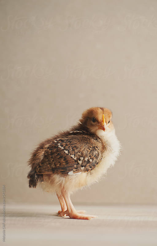 Baby chick by Melanie DeFazio for Stocksy United