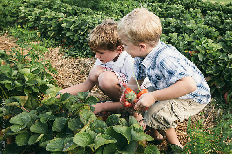 Boys Picking Strawberries by Stephen Morris for Stocksy United