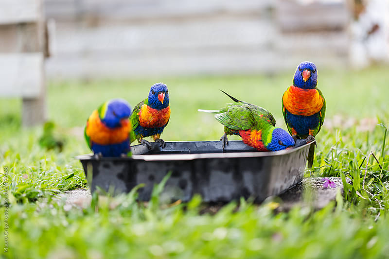 Parrots drinking water in a garden by Mauro Grigollo for Stocksy United